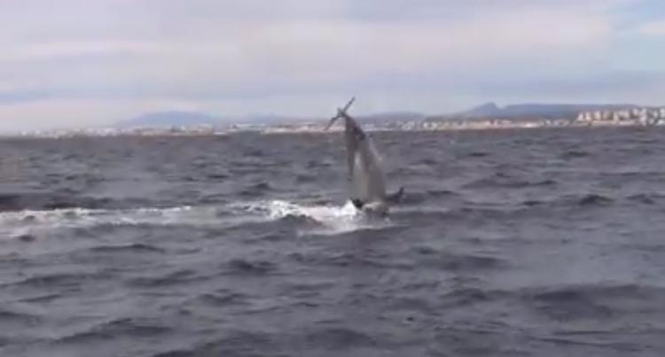 Nuevo avistamiento de delfines en el distrito marítimo de Torrevieja 6