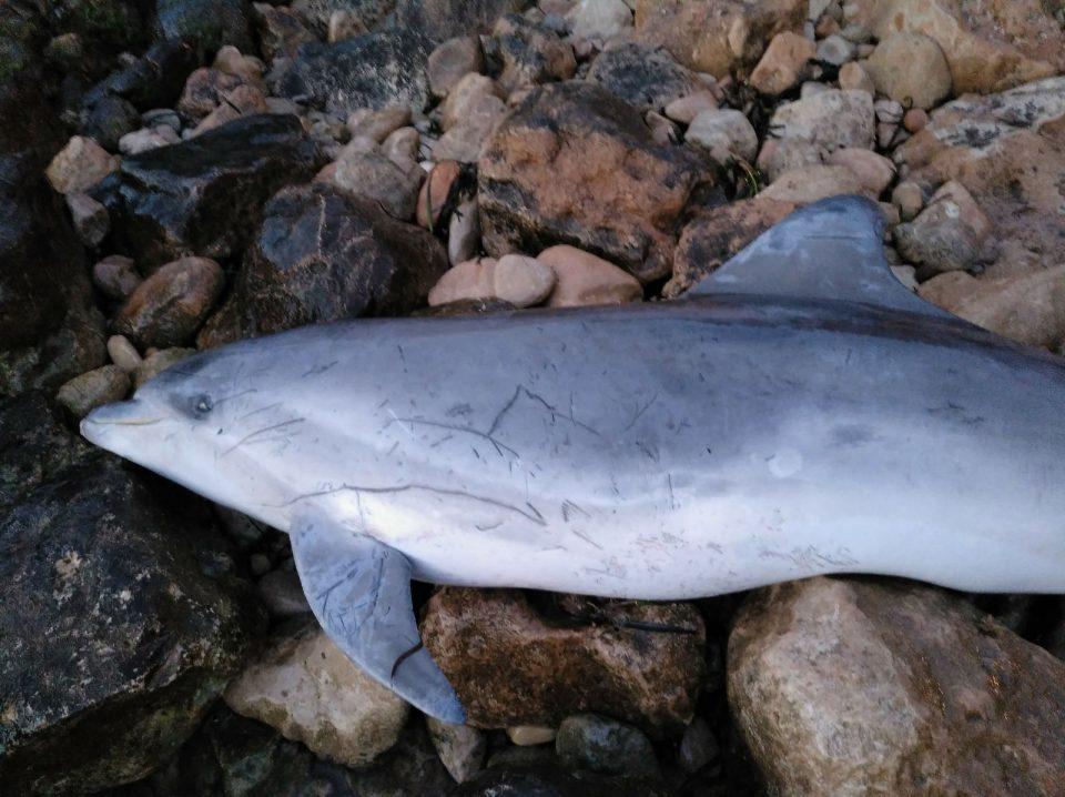 Aparece el cadáver de un delfín en la Cala de la Zorra de Torrevieja 6