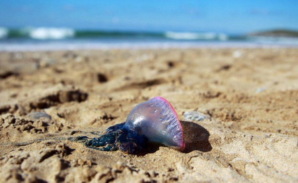 La Carabela Portuguesa amenaza de nuevo a las playas de Guardamar 6