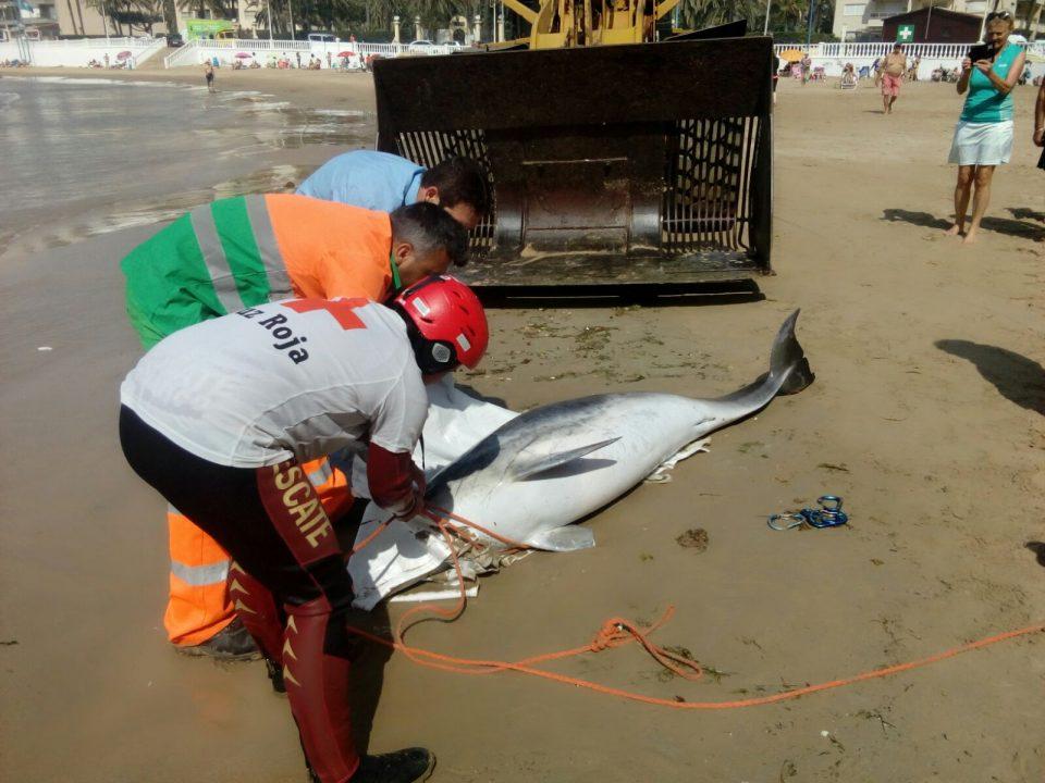 Retiran el cadáver del delfín encontrado en Torrevieja 6