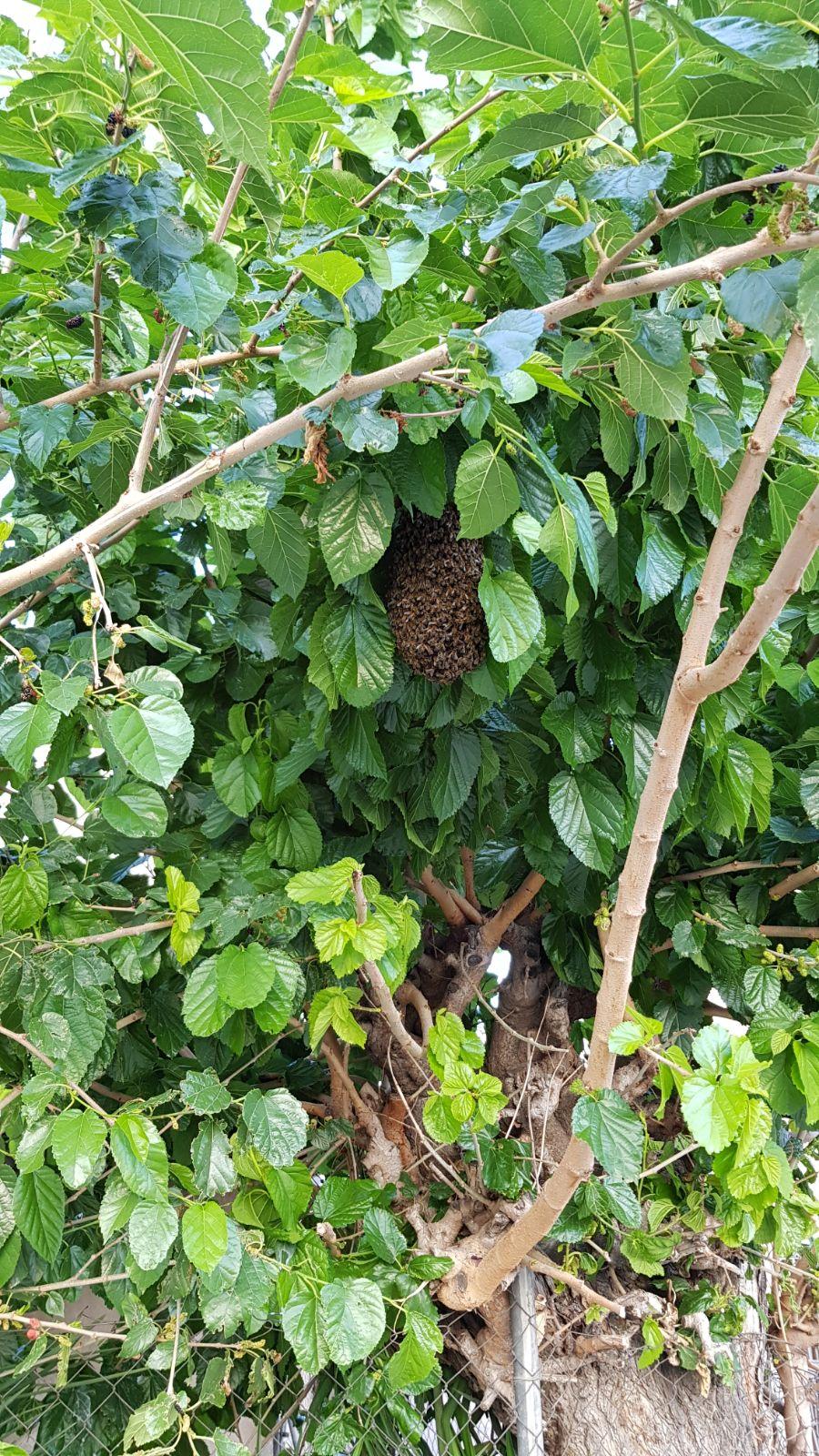Retiran un enjambre de abejas en el centro de Orihuela 6