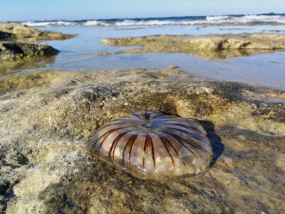"""La medusa brújula """"visita"""" la playa Mil Palmeras 6"""