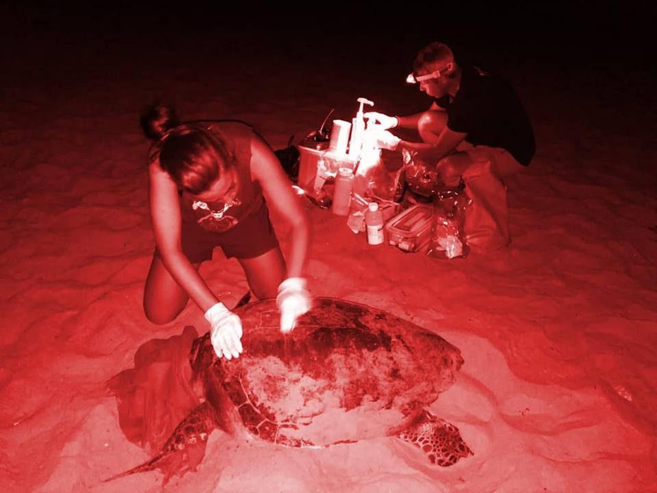 Una tortuga boba intenta nidificar en Orihuela Costa 6