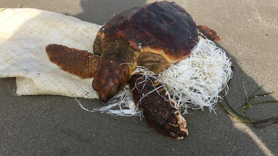 El plástico en el mar daña a una tortuga boba hallada en Playa Flamenca 6