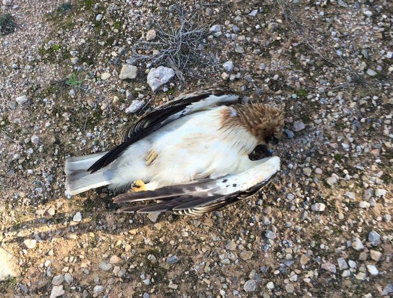 El SEPRONA investiga la muerte de tres águilas en la sierra de Benejúzar 6