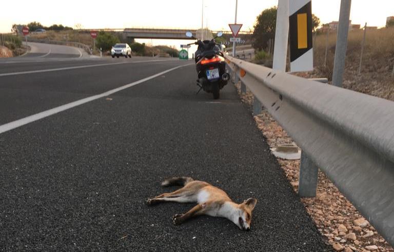 Dos zorros atropellados en Torrevieja en apenas cuatro días 6