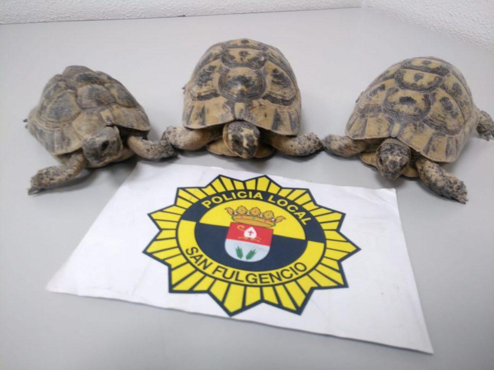 La Policía Local de San Fulgencio incauta tres ejemplares de tortugas morunas 6