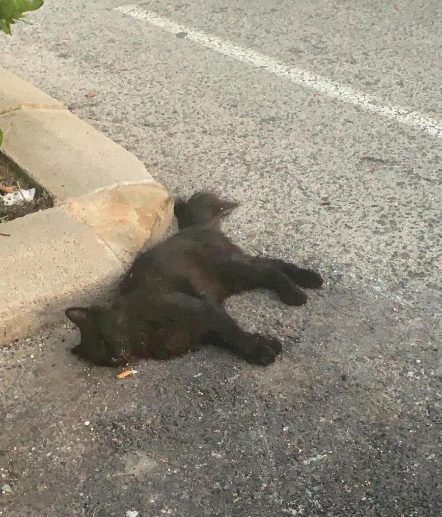 Envenenamiento masivo de gatos en el casco urbano de Los Montesinos 6