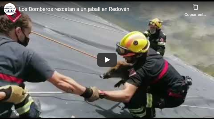 Los Bomberos rescatan a un jabalí en una balsa de riego abandonada en Redován 6