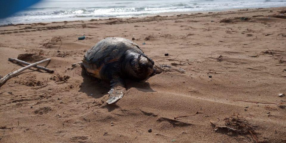 Hallan el cadáver de una tortuga boba en la playa de La Mata 6