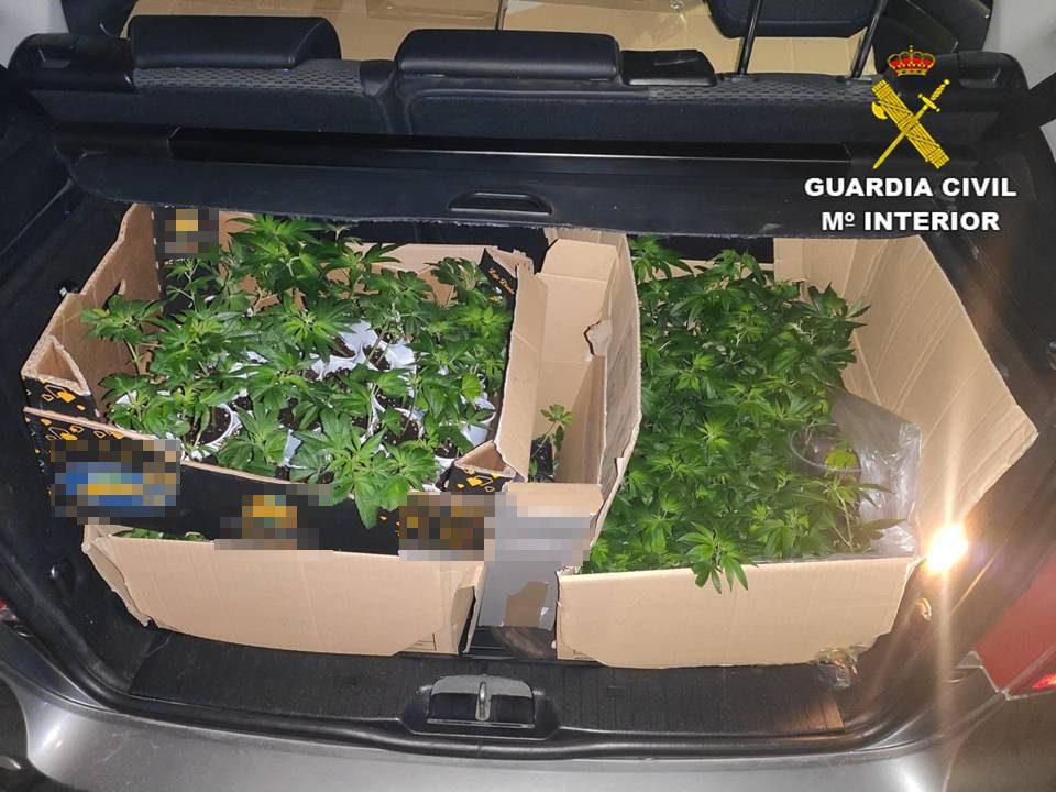 Dos detenidos en un control en Benferri con casi 900 esquejes de marihuana en el maletero 6