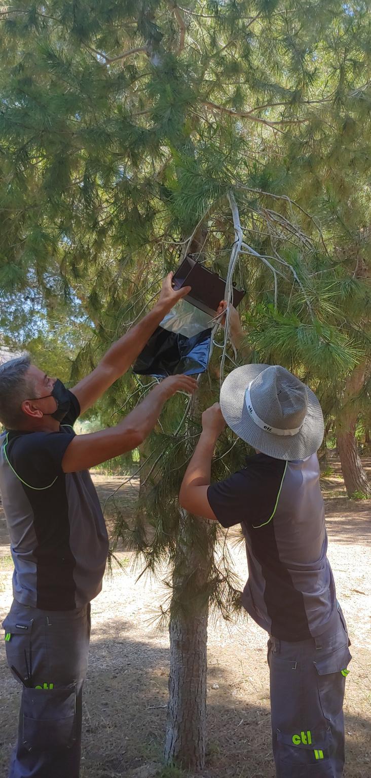 Trampas biológicas en las pinadas de Orihuela para capturar a los machos de la procesionaria 6