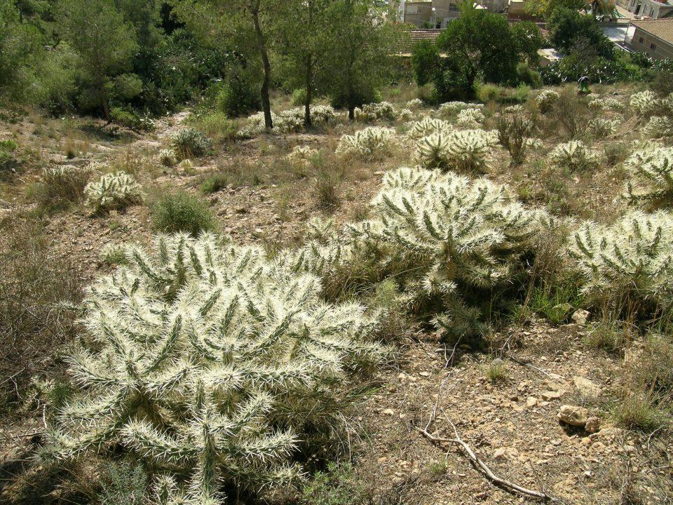 Conselleria autoriza que voluntarios de Orihuela retiren el cactus Arizona de la Sierra 6