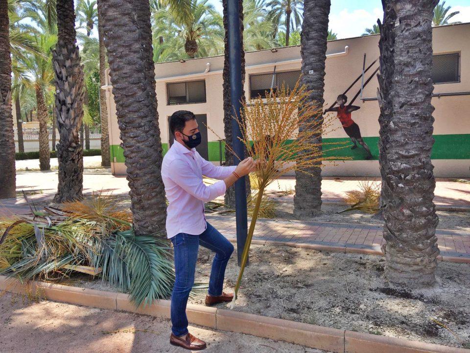 Medio Ambiente retira las infrutescencias de los ejemplares del Palmeral de Orihuela 6