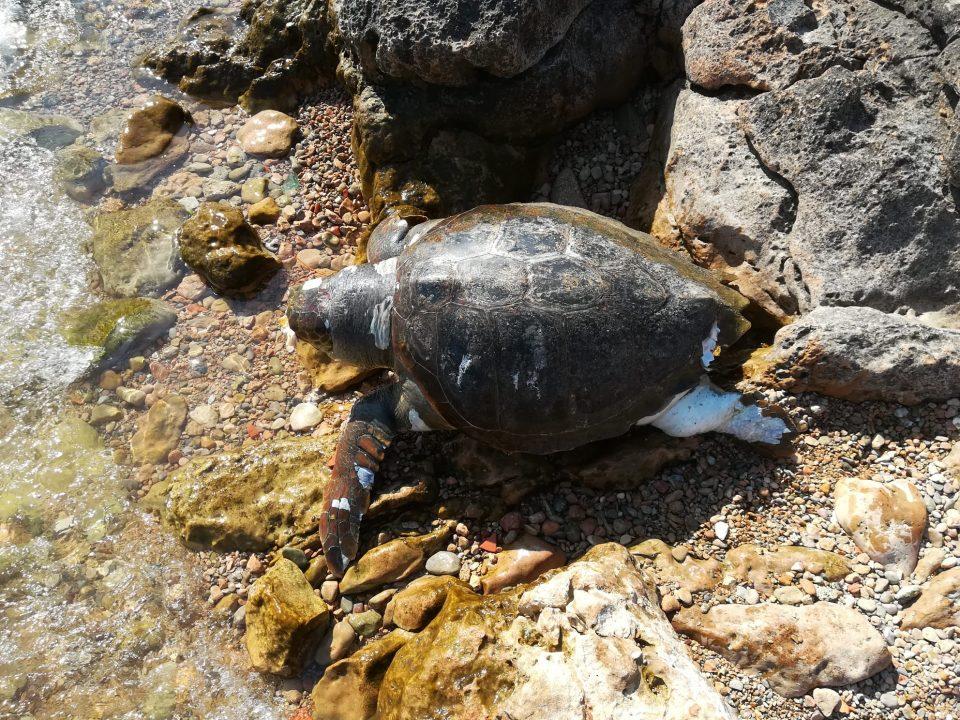 Aparece una Tortuga Boba varada en Torrevieja 6
