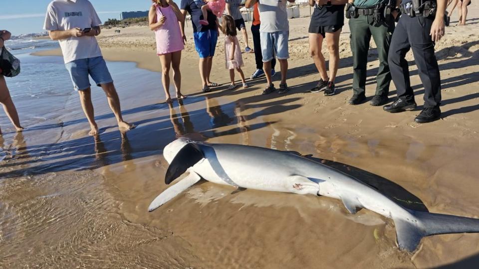 Aparece una tintorera muerta en la playa de Guardamar 6