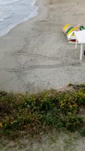 Primeros intentos de desove de tortuga boba en Orihuela Costa 7
