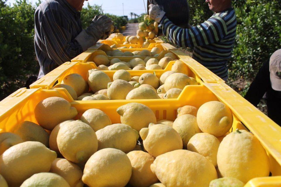 La campaña del limón espera buenos precios en origen 6