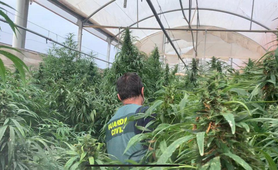 Detectadas ocho macroplantaciones de marihuana que se hacían pasar por empresas de cáñamo en Orihuela y Cox 6