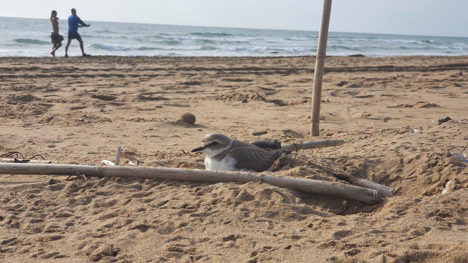 El chorlitejo patinegro vuelve a nidificar en la playa de La Mata 6