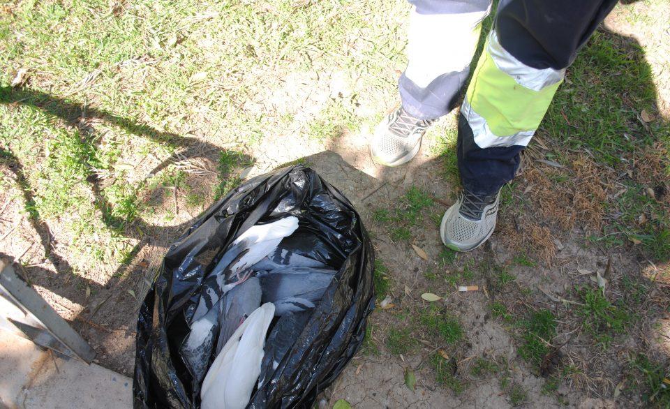 Aparece más de una veintena de palomas muertas en la Glorieta Gabriel Miró de Orihuela 6