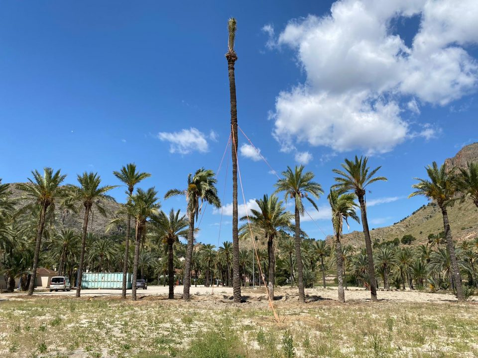 Sobrevive en Orihuela una palmera monumental de 17 metros trasplantada 6