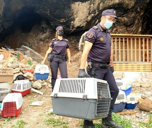 Desmantelan un criadero de gallos de pelea en Orihuela 6