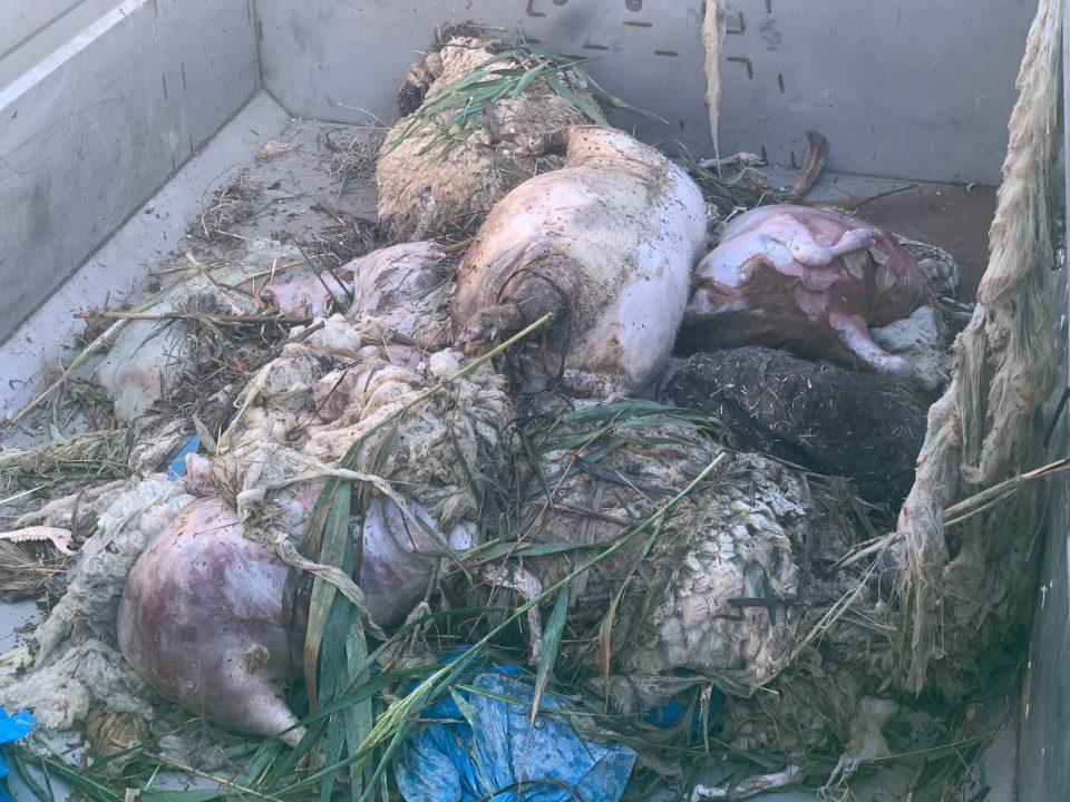 Retiran más de 1.400 animales muertos por la gota fría en la Comarca 6