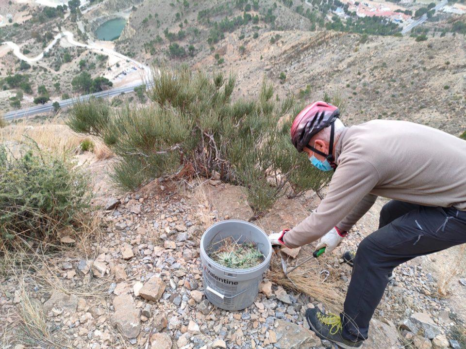 Continúa la retirada del cactus Arizona en la sierra de Orihuela 6