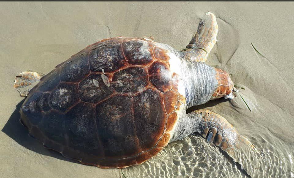 Hallado el cadáver de una tortuga boba en Cala Capitán 6