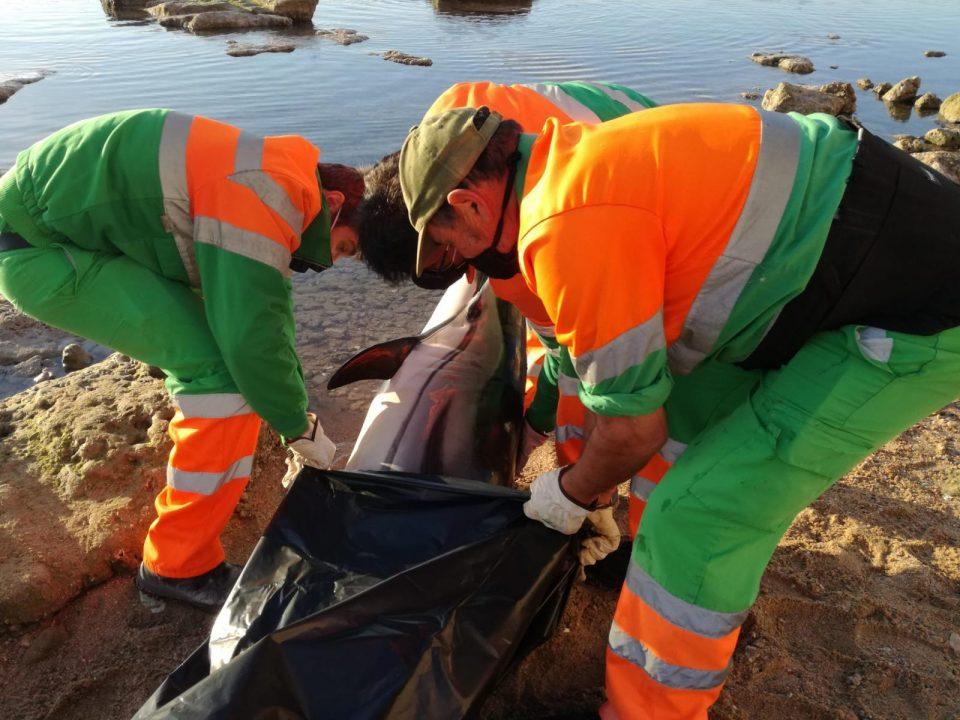 Un vecino de Torrevieja encuentra el cadáver de un delfín listado 6