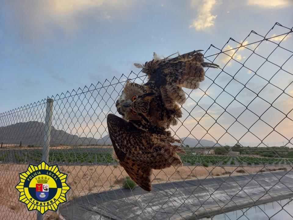 La Policía Local de Albatera rescata a un búho real 6