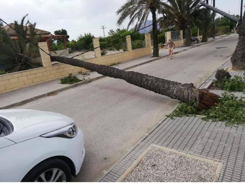 El viento derriba palmeras de grandes dimensiones en Jacarilla y Torrevieja 6