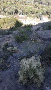 Aparicio denuncia la inacción de la Generalitat frente a la invasión del cactus Arizona en Orihuela 8