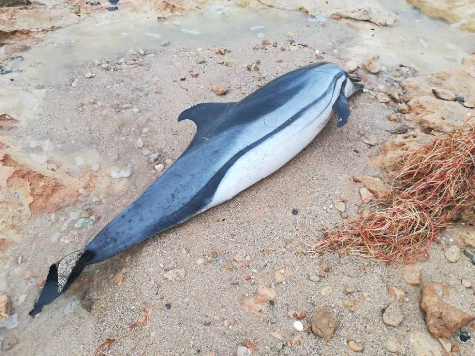 Hallan un delfín varado en Torrevieja 6