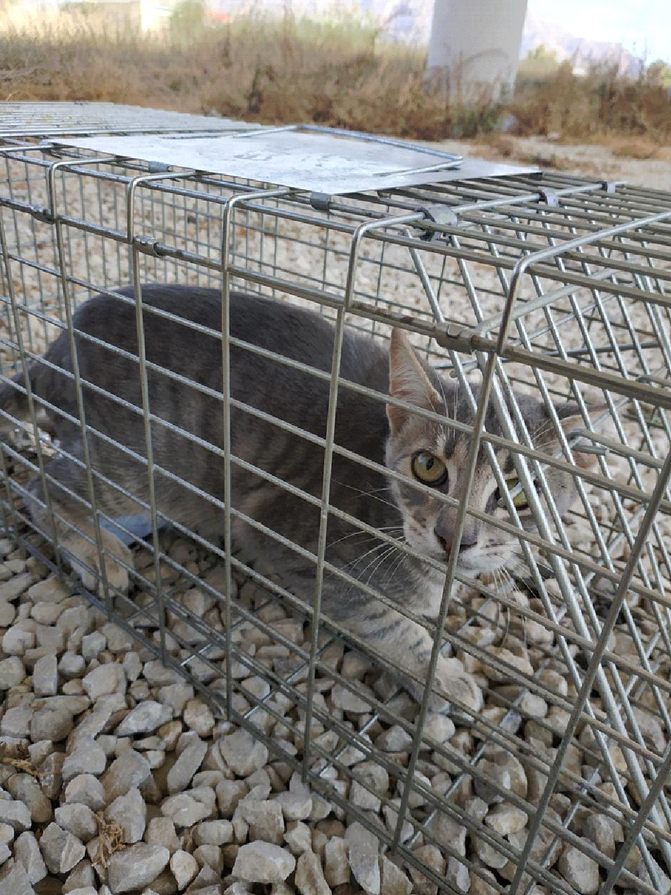 Orihuela comienza la campaña de esterilización de gatos sin propietarios 6