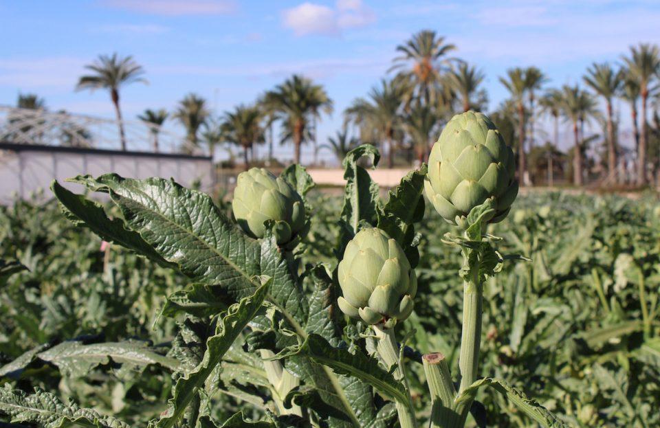 La Alcachofa de la Vega Baja colabora en una Jornada Técnica sobre cultivo 6