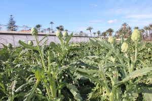 La Alcachofa de la Vega Baja colabora en una Jornada Técnica sobre cultivo 7