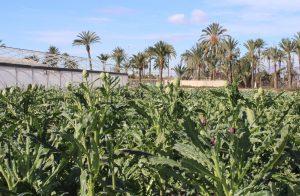 La Alcachofa de la Vega Baja colabora en una Jornada Técnica sobre cultivo 8