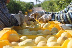 La campaña del limón espera buenos precios en origen 7
