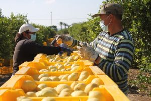 La campaña del limón espera buenos precios en origen 8