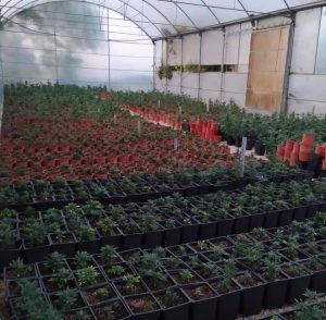 Incautadas más de 5.000 plantas de marihuana en Pilar de la Horadada 7
