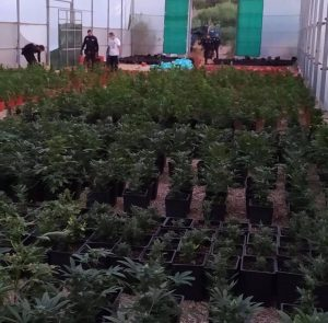 Incautadas más de 5.000 plantas de marihuana en Pilar de la Horadada 8
