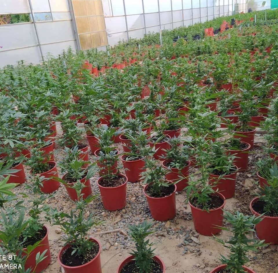 Incautadas más de 5.000 plantas de marihuana en Pilar de la Horadada 6