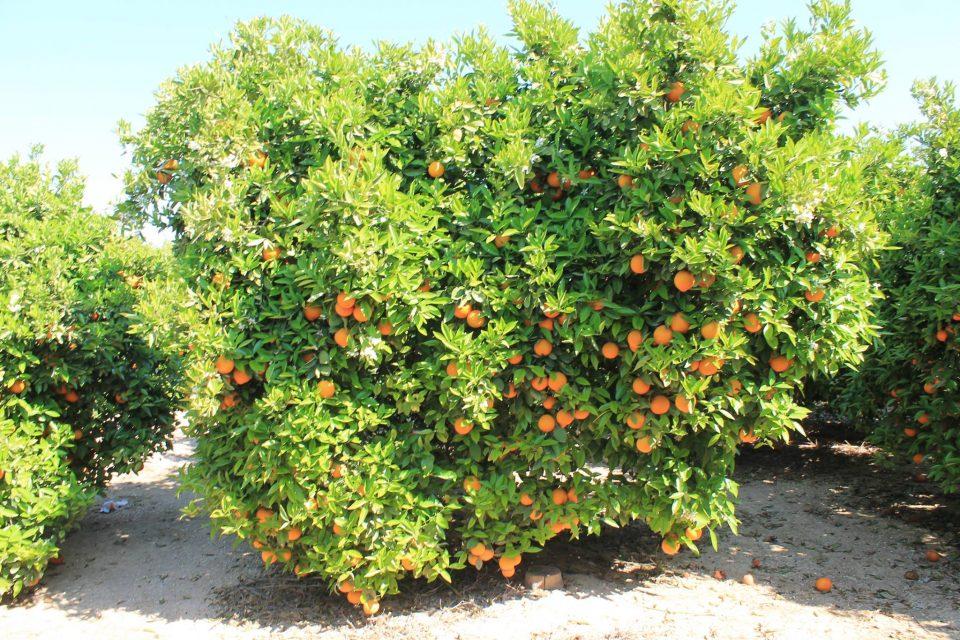 ASAJA denuncia prácticas desleales que pueden romper el mercado de la naranja de la Vega Baja 6