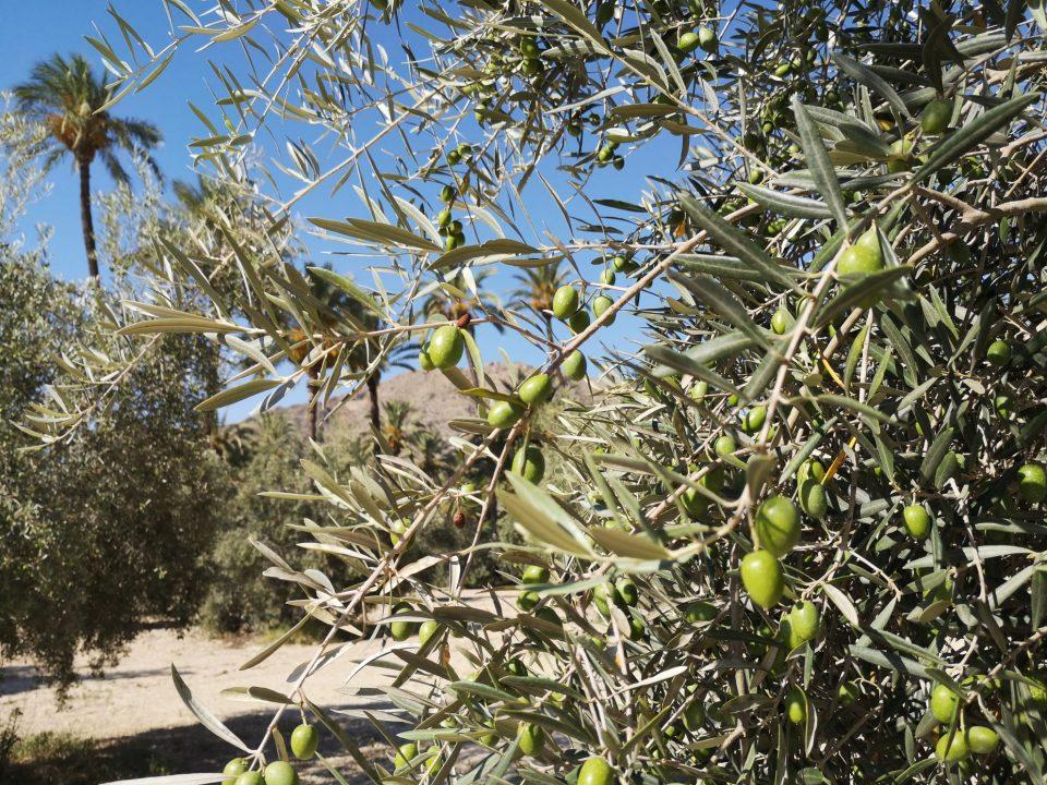 Actuación de biocontrol contra la mosca del olivo en el Palmeral de Orihuela 6