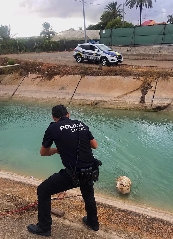 Agentes de la Policía Local rescatan a dos ovejas y un zorro tras caer a unos canales 6