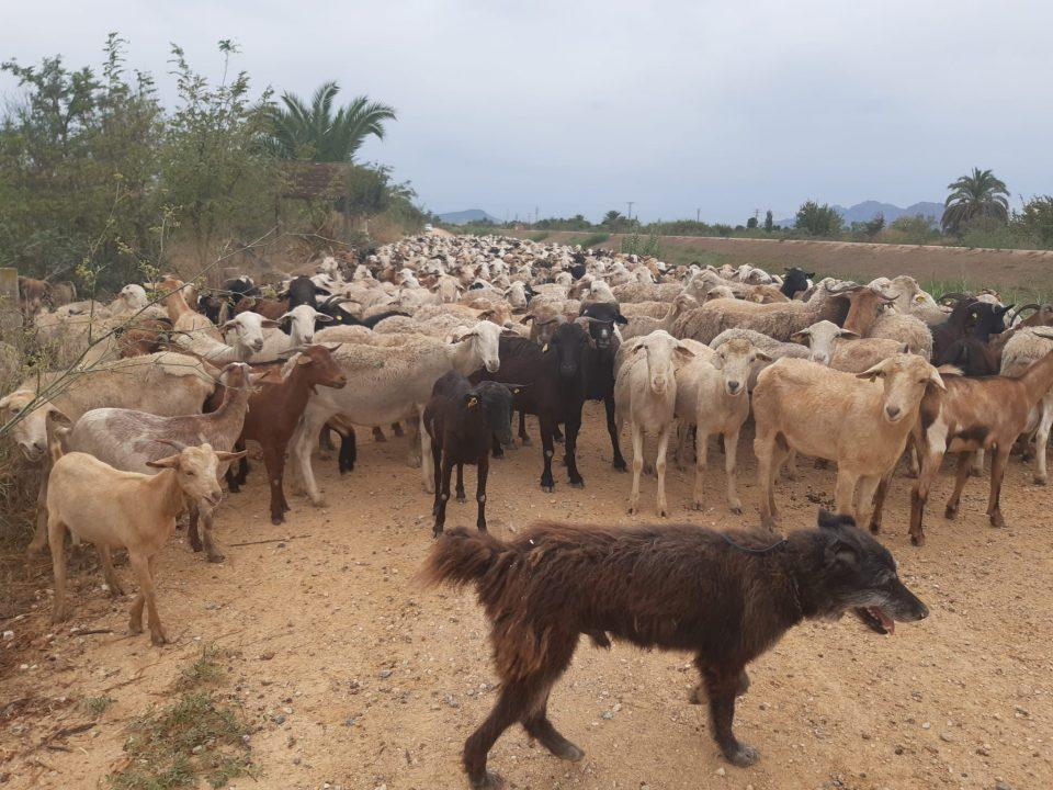 La CHS autoriza labores de pastoreo en el cauce del río Segura en la Vega Baja 6