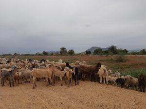 La CHS autoriza labores de pastoreo en el cauce del río Segura en la Vega Baja 7