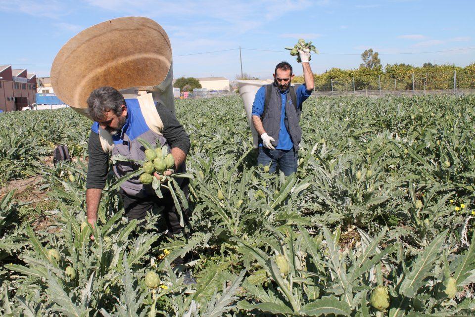 Los agricultores de la Alcachofa de la Vega Baja, sin ayudas por la DANA 6